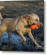 Yellow Labrador Metal Print