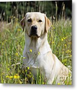 Yellow Labrador Retriever Metal Print