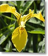 Yellow Water Iris Metal Print
