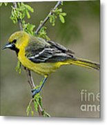 Young Orchard Oriole Metal Print