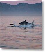 Grand Requin Blanc Carcharodon Metal Print