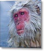 Japanese Macaque Metal Print