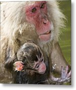Snow Monkeys, Japan Metal Print