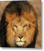 Lion Dafrique Panthera Leo Metal Print