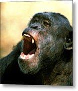 Chimpanze Pan Troglodytes Metal Print