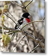 Rose Breasted Grosbeak Metal Print