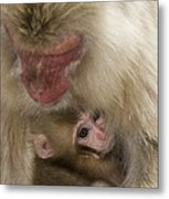 Snow Monkeys, Japan Metal Print
