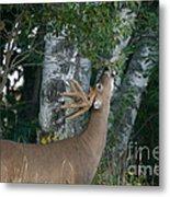 White-tailed Buck Metal Print by Linda Freshwaters Arndt