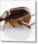 Cockchafer Or June Beetle  Metal Print