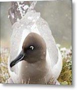 A Light Mantled Albatross Metal Print