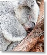 Adorable Koala Bear Taking A Nap Sleeping On A Tree Metal Print