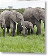 African Elephants Grazing  Kenya Metal Print