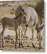 African Wild Ass Equus Africanus Metal Print
