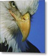 American Bald Eagle Haliaeetus Metal Print