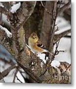 American Goldfinch In Winter Metal Print