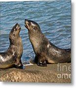 Antarctic Fur Seals Metal Print