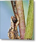 Antlion 31 Metal Print