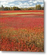 Autumn Blueberry Field Maine Metal Print