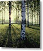 Birch Trees By The Vuoksi River Metal Print