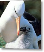 Black-browed Albatross With Chick Metal Print