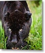 Black Jaguar  Metal Print