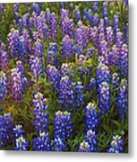 Bluebonnets At Sunset Metal Print