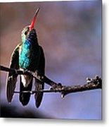 Broad Bill Hummingbird Metal Print