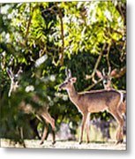 3 Bucks Caught In A Orchard Metal Print