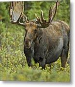 Bull Moose In Velvet  Metal Print
