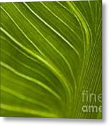 Calla Lily Stem Close Up Metal Print