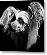 Chinese Crested Hairless Metal Print