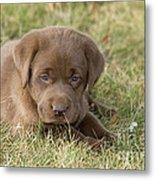 Chocolate Labrador Puppy Metal Print