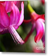 Christmas Cactus In Bloom Metal Print by Thomas R Fletcher