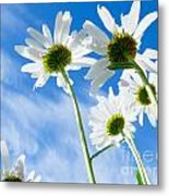Close-up Shot Of White Daisy Flowers From Below Metal Print