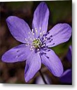 Common Hepatica Metal Print