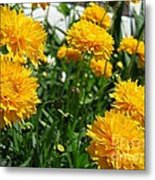 Coreopsis Named Early Sunrise Metal Print