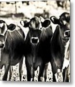 3 Curious Cows Metal Print