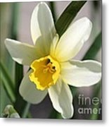 Cyclamineus Daffodil Named Jack Snipe Metal Print