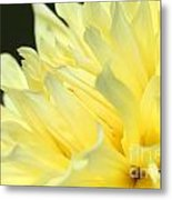 Dahlia Named Kelvin Floodlight Metal Print
