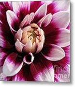 Dahlia Named Mystery Day Metal Print
