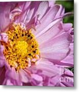 Double Click Cosmos Named Rose Bonbon Metal Print
