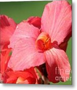 Dwarf Canna Lily Named Shining Pink Metal Print