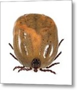 Engorged Ixodes Tick Metal Print by Science Photo Library
