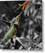 Female Anna's Hummingbird Metal Print