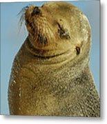 Galapagos Sea Lion Zalophus Wollebaeki Metal Print