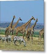 Girafe Masai Giraffa Camelopardalis Metal Print