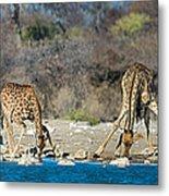 Giraffes Giraffa Camelopardalis Metal Print