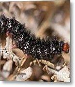 Glanville Fritillary Butterfly Caterpillar - Melitaea Cinxia Metal Print