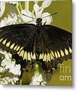 Gold Rim Swallowtail Butterfly Metal Print