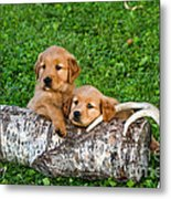 Golden Retriever Puppies Metal Print by Linda Freshwaters Arndt